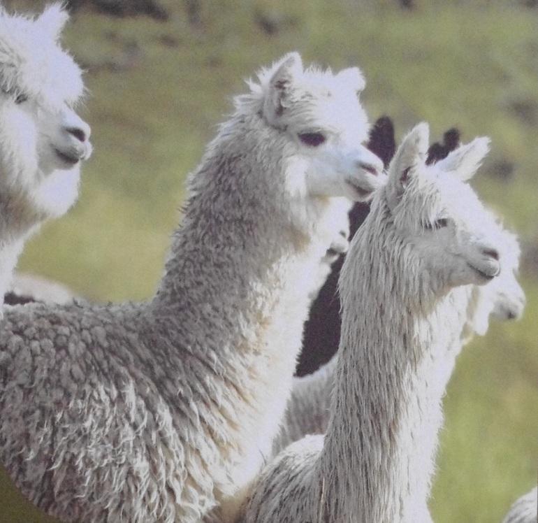 andean alpaca wool