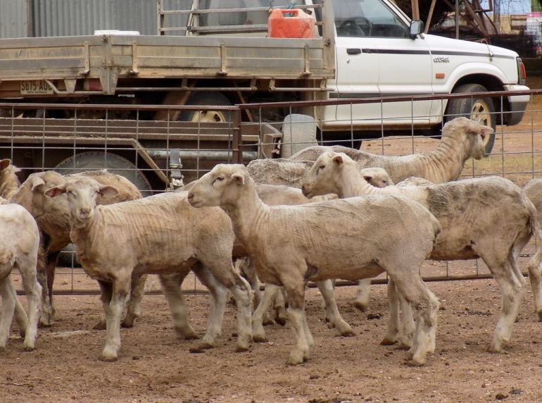 PETA Australian wool, the truth about wool, ethical wool